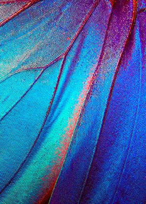 BG papillon bleu